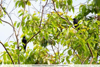 Giant Cowbird - Cartago, Costa Rica