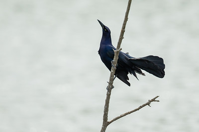 Great-tailed Grackle - Weslaco, TX, USA