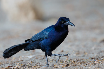 Great-tailed Grackle - Santa Marta, Colombia
