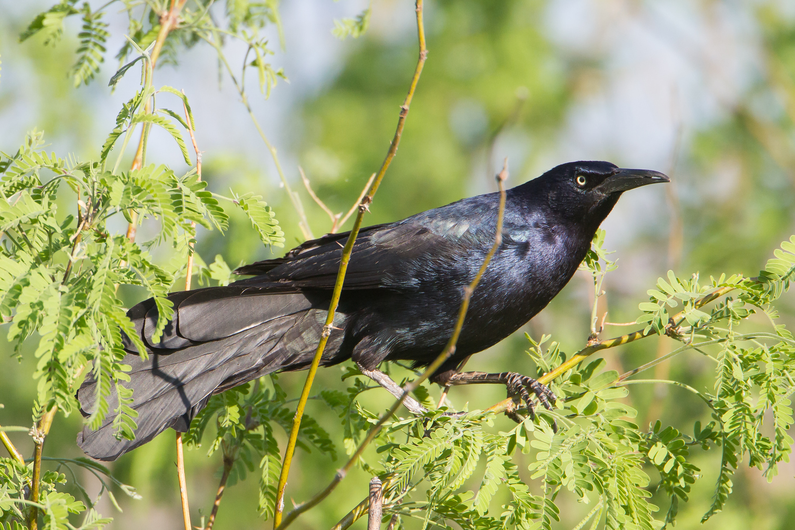 Great-tailed Grackle - Patagonia Lake State Park, Patagonia, AZ, USA