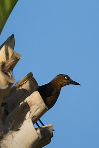 Great-tailed Grackle - Female - South Padre Island, TX, USA