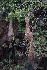 Green-backed Oropendola nest - Inkaterra Resort, Aguas Calientes, Peru