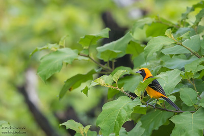 Hooded Oriole - Crooked Tree, Belize