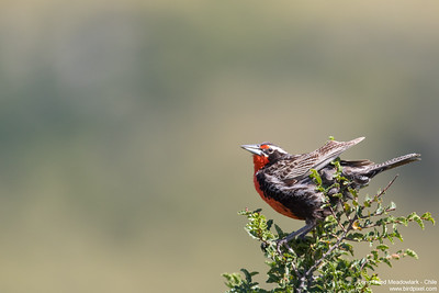 Long-tailed Meadowlark - Chile