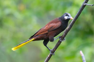 Montezuma Oropendola - Record - Arenal, Costa Rica