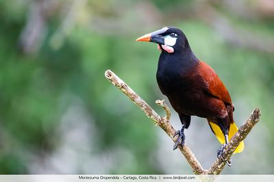 Montezuma Oropendola - Cartago, Costa Rica