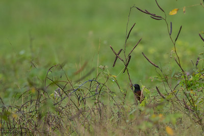 Orchard Oriole - Record - Crooked Tree, Belize