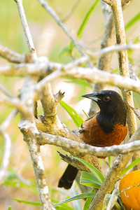Orchard Oriole - Record - South Padre Island, TX, USA