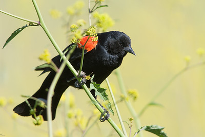 Red-winged Blackbird - Milpitas, CA, USA