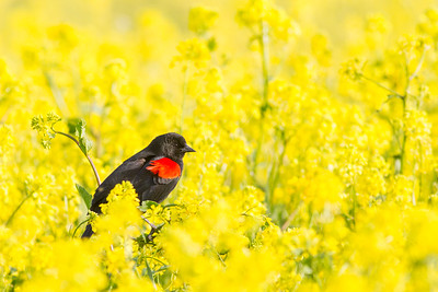 Red-winged Blackbird - USA