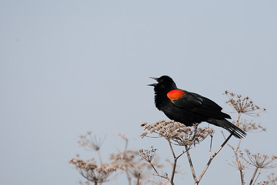Red-winged Blackbird - San Jose, CA, USA