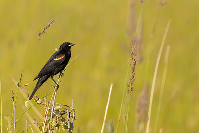 Red-winged Blackbird - OR, USA