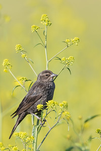 Tricolored Blackbird - San Benito County, CA, USA