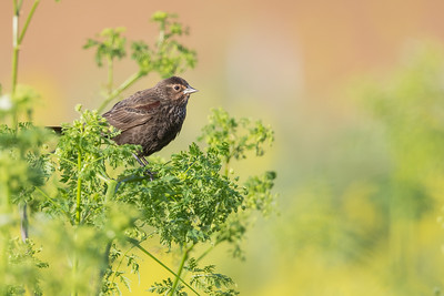 Red-winged Blackbird - San Benito County, CA, USA