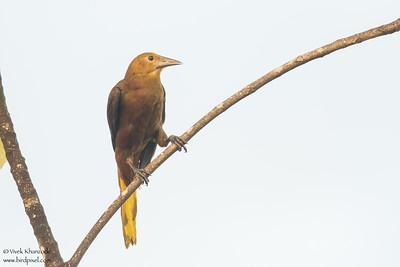 Russet-backed Oropendola - Amazon, Ecuador