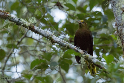 Russet-backed Oropendola - Record - Napo, Ecuador