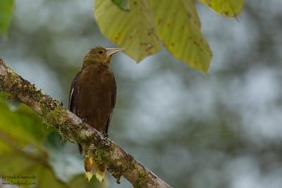 Russet-backed Oropendola - Napo, Ecuador