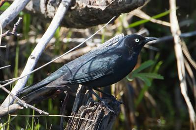 Rusty Blackbird - Record - Anchorage, AK, USA