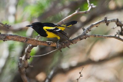 Scott's Oriole - Ash Canyon B&B, Hereford, AZ, USA