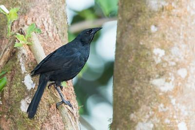 Scrub Blackbird - Record - Mindo, Ecuador