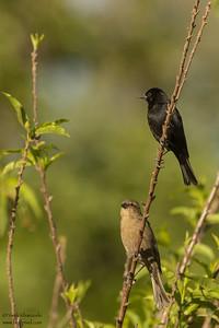 Shiny Cowbird - Puembo, Ecuador