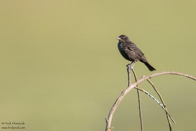 Tricolored Blackbird - Female - San Benito County, CA, USA