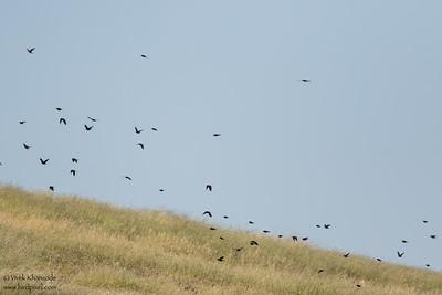 Tricolored Blackbirds - San Benito County, CA, USA