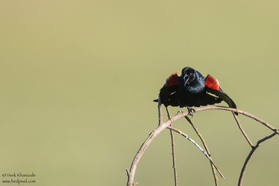Tricolored Blackbird - San Benito County, CA, USA