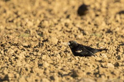 Tricolored Blackbird - Record - Panoche, CA, USA