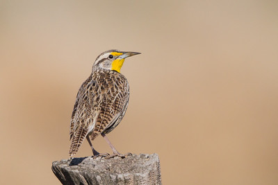 Western Meadowlark - Nr. Honey Lake, Susanville, CA, USA