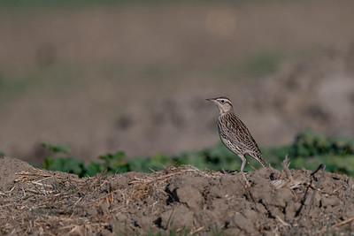 Western Meadowlark - Merced, CA, USA