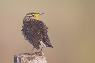 Western Meadowlark - Sierra Valley, CA, USA