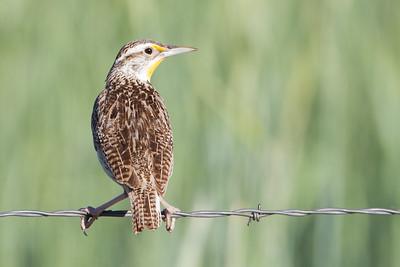 Western Meadowlark - Sierraville, CA, USA