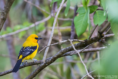 Yellow Oriole - Asa Wright Nature Center, Trinidad