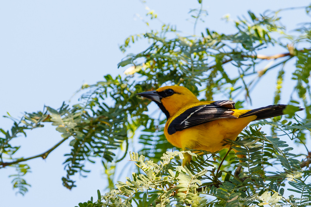 Yellow Oriole - Santa Marta, Colombia