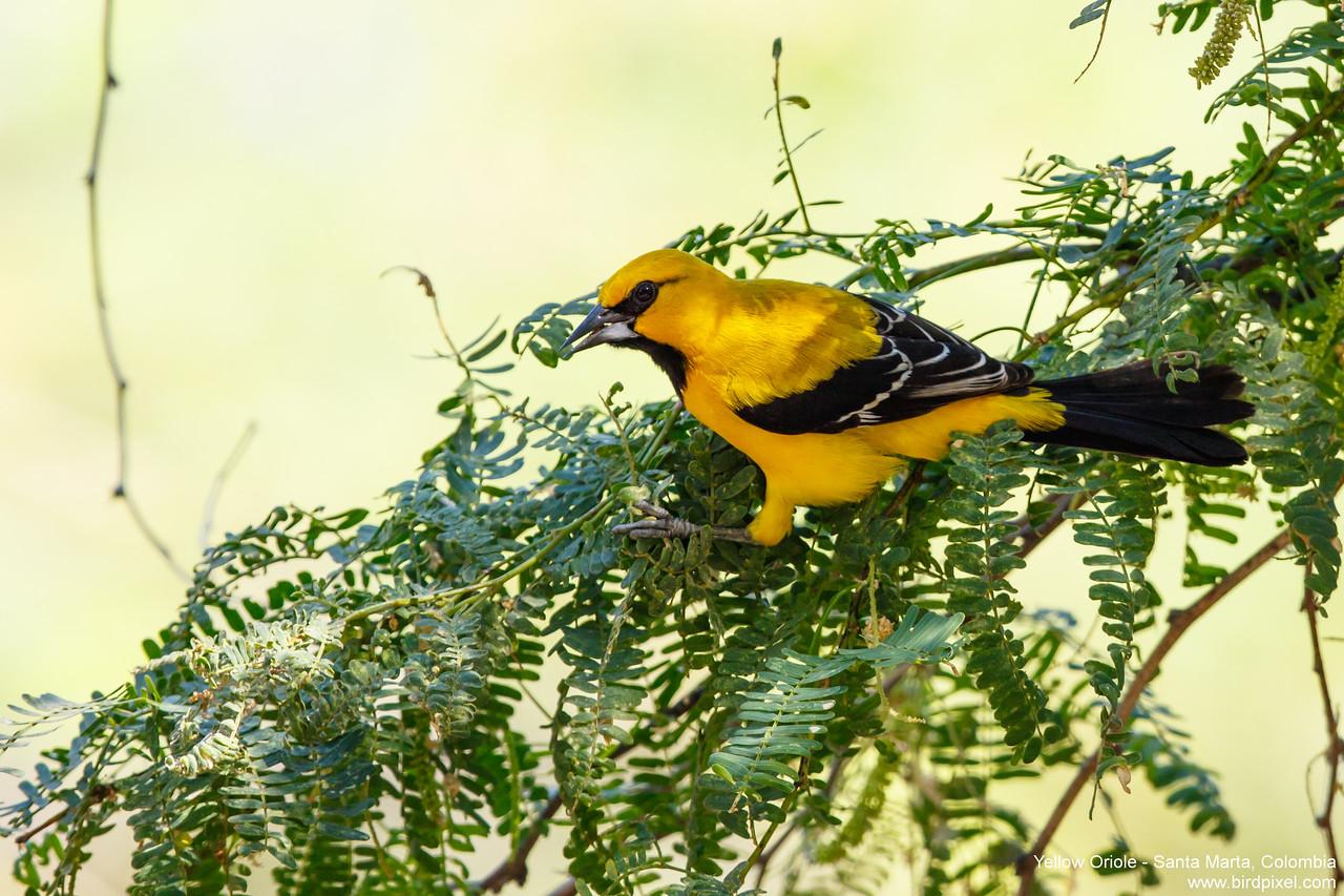 Yellow Oriole - Santa Marta, Colombia