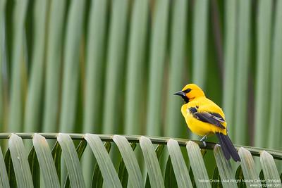 Yellow Oriole - Asa Wright Nature Center, Trinidad