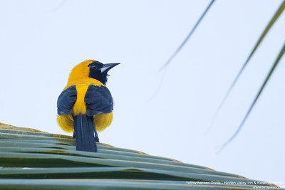 Yellow-backed Oriole - Hidden Valley Inn & Reserve, Belize