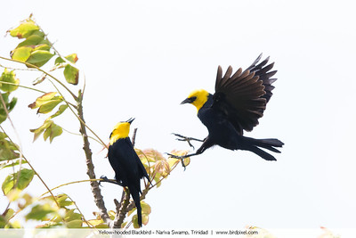 Yellow-hooded Blackbird - Nariva Swamp, Trinidad