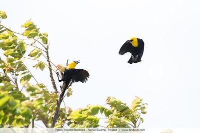 Yellow-hooded Blackbird - Nariva Swamp, Trinidad