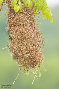 Nest of the Yellow-rumped Cacique - Amazon, Ecuador