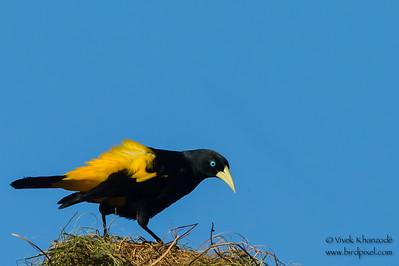 Yellow-rumped Cacique - Tambo Blanquillo Lodge, Manu Biosphere Preserve, Peru
