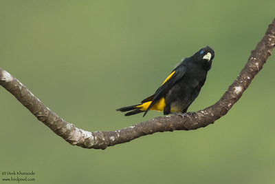 Yellow-rumped Cacique - Amazon, Ecuador