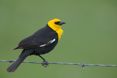Yellow-headed Blackbird - Male - Sierra Valley & vicinity, CA, USA