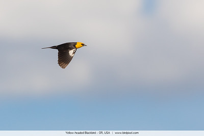 Yellow-headed Blackbird - OR, USA