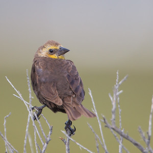 Yellow-headed Blackbird - Female - Marble Hot Springs, Sierra Valley, CA, USA