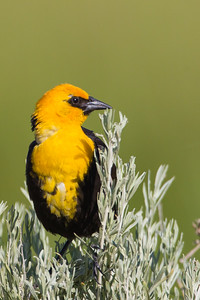 Yellow-headed Blackbird - Marble Hot Springs, Sierra Valley, CA, USA
