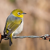 Silvereye or wax-eye (Zosterops lateralis)