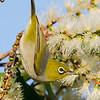 Silvereye (Zosterops lateralis)