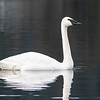 Trumpeter Swan